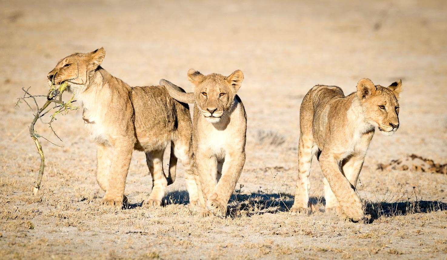Safari to Lions with Africa Travel Resource